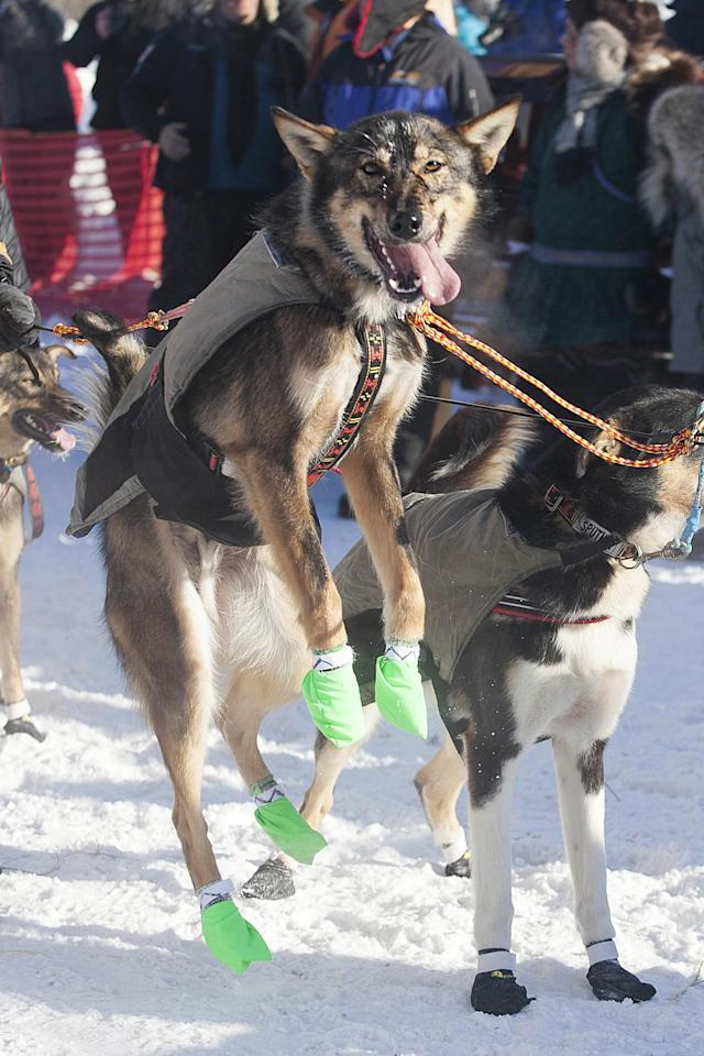 <p>A member of Allen Moore's dog team can't contain his excitement at the start of the 45th Iditarod Trail Sled Dog Race in Fairbanks, Alaska, Monday, March 6, 2017. (AP Photo/Ellamarie Quimby) </p>