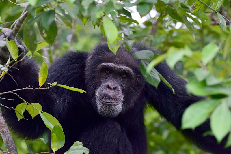 Ponso, the only surviving chimpanzee of a colony of 20 apes, sits in a tree on Chimpanzee Island in Ivory Coast, where the ape population has plummeted by 90 percent in just two decades