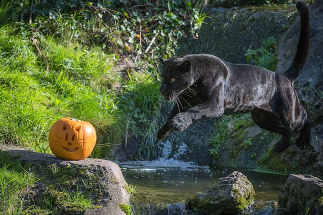 <p>Beautiful black jaguar Goshi goes in pursuit of pumpkins at Chester Zoo in Chester, Britain, on Oct. 17, 2017. (Photo: Chester Zoo/Caters News) </p>