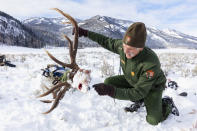 In this Dec. 9, 2019, photo provided by the National Park Service, senior wildlife biologist Doug Smith examines a wolf-killed bull elk skull in Yellowstone National Park, Wyo. Wolves have repopulated the mountains and forests of the American West with remarkable speed since their reintroduction 25 years ago, expanding to more than 300 packs in six states. (Jacob W. Frank/National Park Service via AP)