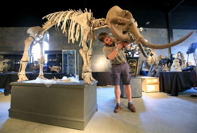Rupert van der Werff of Summers Place Auctions, in Billingshurst, Sussex, constructs the skeleton of an infant woolly mammoth