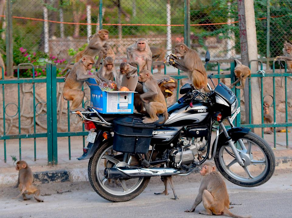 File image: The Indian government is trying to tackle the problem of conflict between monkeys and humans (AFP via Getty Images)