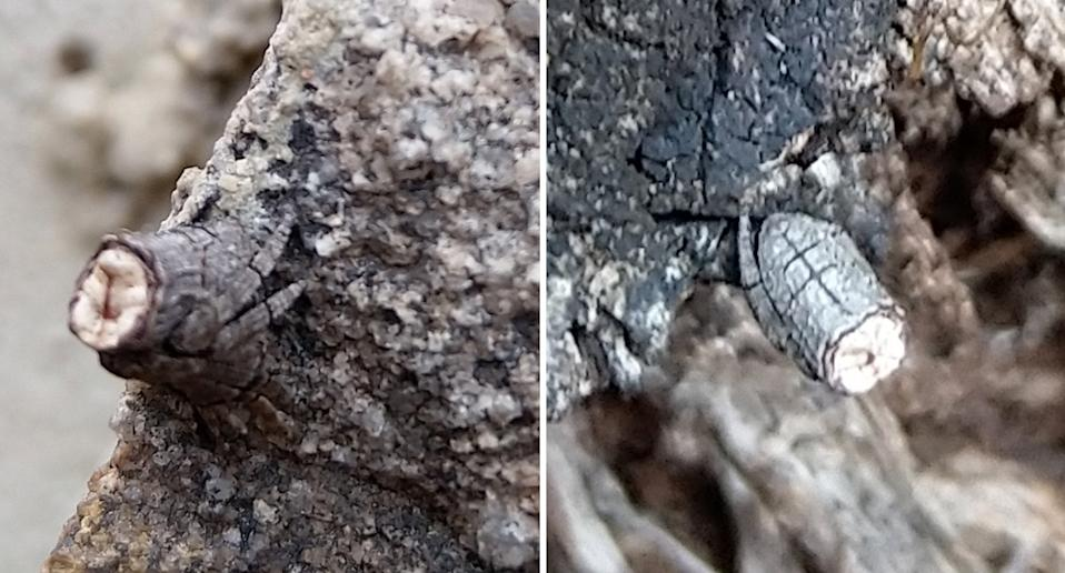 The pictured spider, an acroaspis, was difficult to spot as it posed as a broken-off twig. Source: Supplied