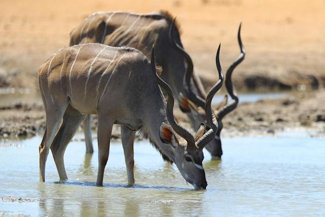 <p>Two kudu drink from Owakao springs in the Dolomite section of Etosha National Park. (Photo: Gordon Donovan/Yahoo News) </p>
