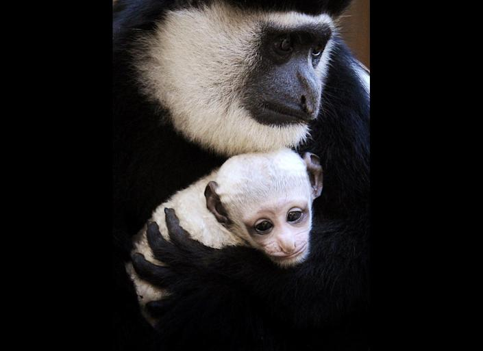 Melbourne Zoo's newest primate baby, a three week-old Colobus monkey, is held in the arms of her mother Clover, in Melbourne on June 29, 2011.  Keepers have not been able to determine the sex of the newborn monkey which is pure white and won't display any black markings until it's several months old.  Black and White Colobus Monkeys, native to Angola, Democratic Republic of Congo, Uganda, Rwanda, Burundi, Tanzania and Kenya, have seen their populations suffer from the fur trade during colonial times, but now the greatest threats to their survival are the loss of their habitat and the bushmeat trade, the large-scale hunting to supply meat to towns and cities.
