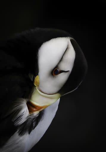 Horned Puffin; winner in the youth category.