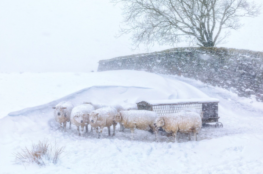 <p>These sheep had found shelter between a snowdrift and dry stone wall near Hebden Bridge, West Yorkshire, England. (Robert Birkby/UK) </p>