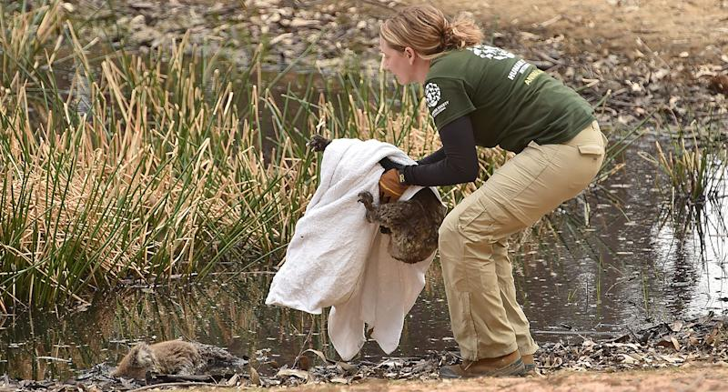 Humane Society International disaster response expert Kelly Donithan rescues a surviving koala from the Kangaroo Island fires