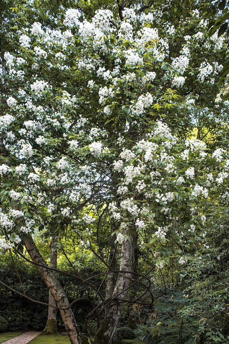 "A Kiftsgate Rose, purchased on a trip to The Cotswolds, rambles through Beech Trees. ""It started out one meter tall,"" Françoise recalls. ""Twenty-eight years later, we have to cut him back so much—he's so happy that he's grown higher than my house."""