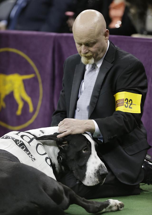 A great Dane rests during competition in the working group during the Westminster Kennel Club dog show, Tuesday, Feb. 11, 2014, in New York. (AP Photo/Frank Franklin II)