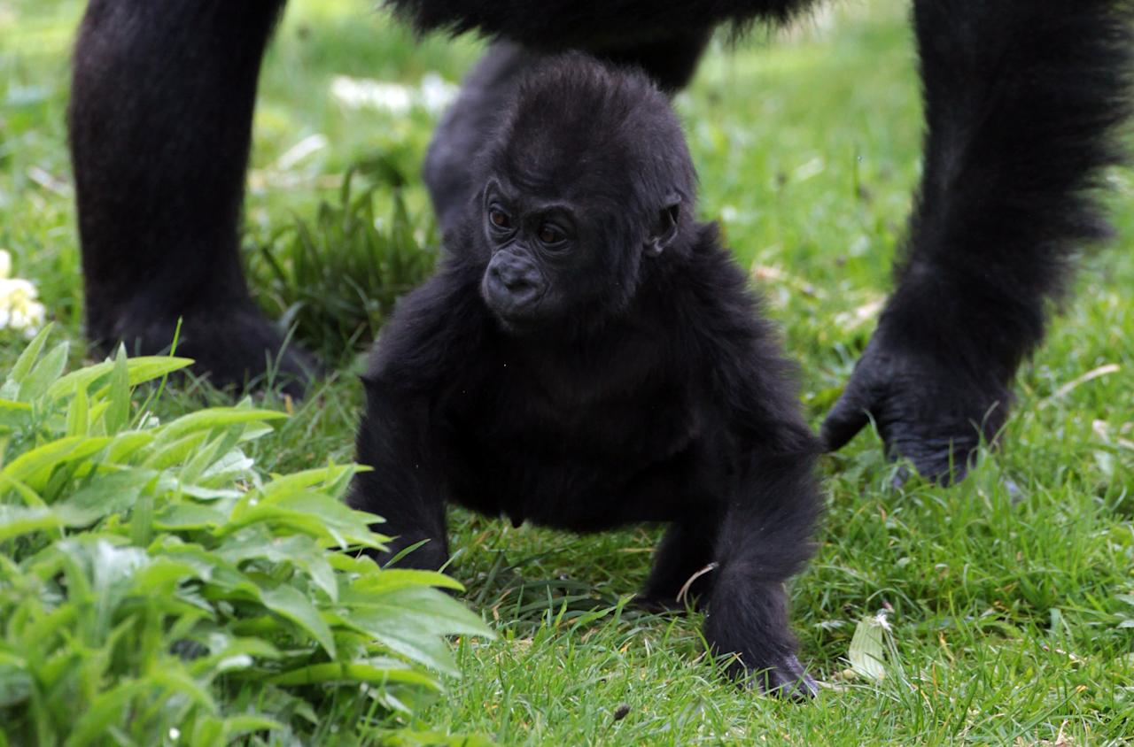 Bristol Zoo's baby gorilla Kukena takes some of his first steps as he ventures out of his enclosure with his mother Salome at Bristol Zoo's Gorilla Island on May 4, 2012 in Bristol, England. The seven-month-old western lowland gorilla is starting to find his feet as he learns to walk having been born at the zoo in September. Kukena joins a family of gorillas at the zoo that are part of an international conservation breeding programme for the western lowland gorilla, which is a critically endangered species.  (Photo by Matt Cardy/Getty Images)
