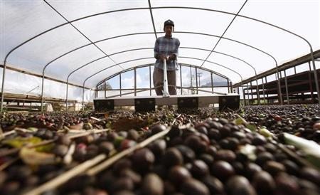 Bumanglag, a worker of Dole Food Company, rakes coffee fruits for them to dry at the company's Waialua coffee and cocoa farm in Hawaii