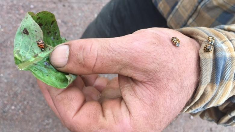 The biting, stinking Asian ladybeetle invades homes across the province
