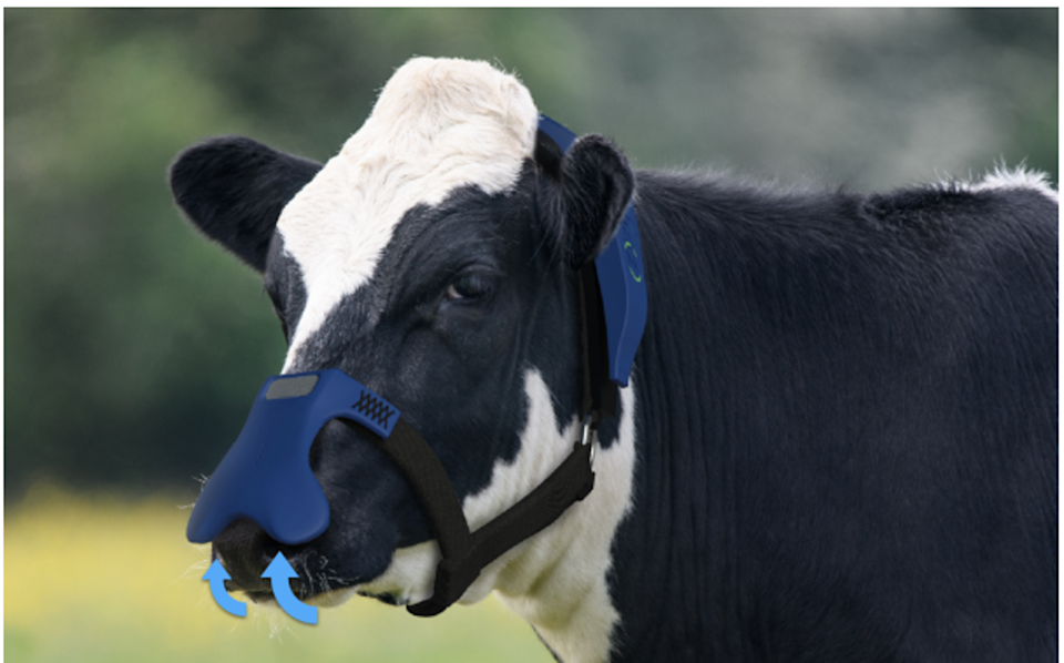 The mask captures and eliminates methane as the cow releases it (Zelp)