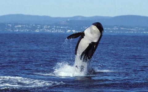 An orca whale in the wild