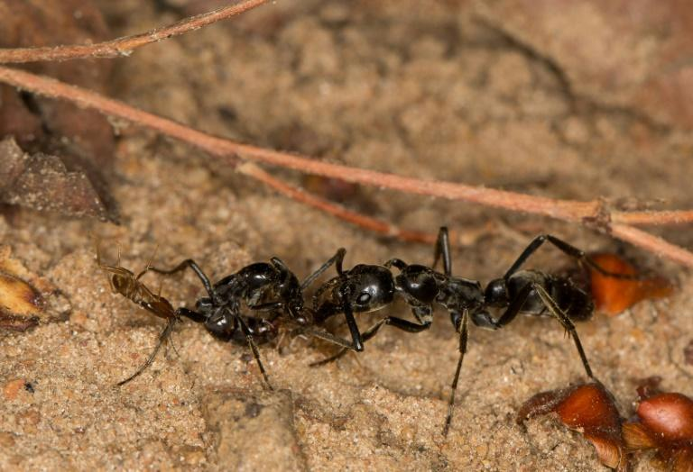 After hunting raids, while some of the ants return home with their dead termite prey, others scuttle around the battlefield looking for injured colleagues