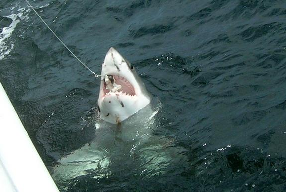 A great white caught during a survey by the National Oceanic and Atmospheric Administration (NOAA).