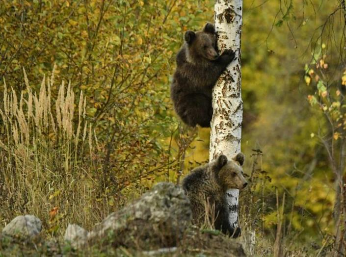 Tourists feeding them, inappropriate refuse management, fields of crops extending near their habitat also affect the bears' behaviour, according to environmentalists (AFP Photo/Daniel MIHAILESCU)