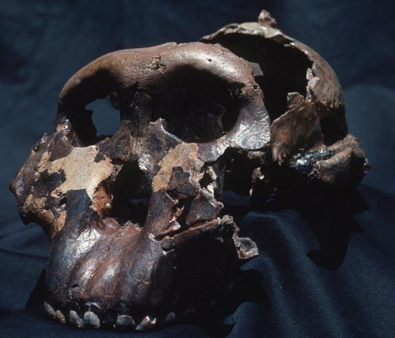 Here, the skull of the Olduvai Hominid 5, also called Nutcracker Man, the most famous of the early human fossils, which was found at Olduvai Gorge, Tanzania.