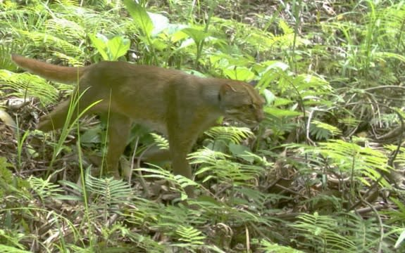 Spotted: Rare Cat Species Captured on Camera in Borneo
