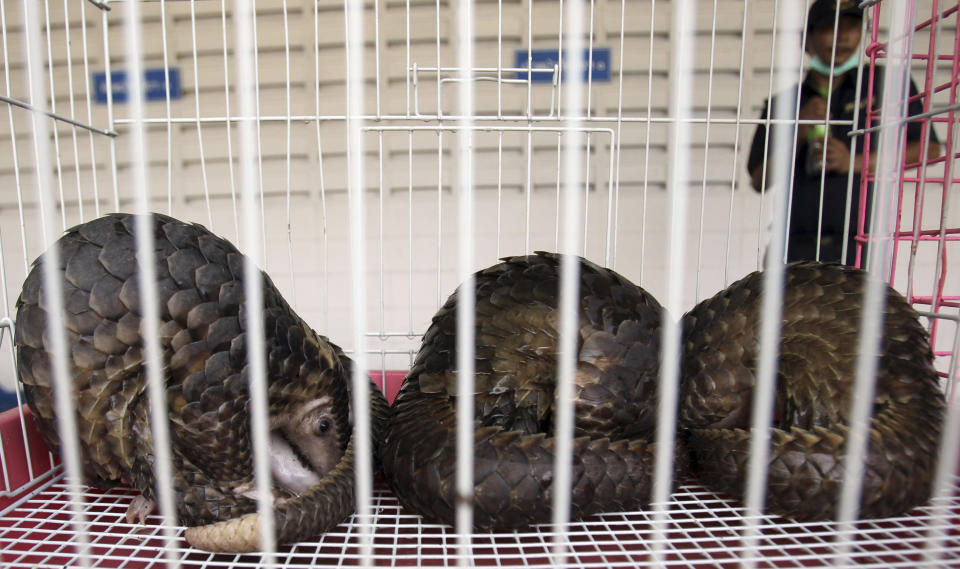 Pangolins are kept in a cage during a news conference at the customs office in Bangkok, Thailand Monday, Sept. 26, 2011. Authorities in Thailand have rescued nearly 100 endangered pangolins worth about $32,000 that they say were to be sold and eaten outside the country.  (AP Photo/Apichart Weerawong)