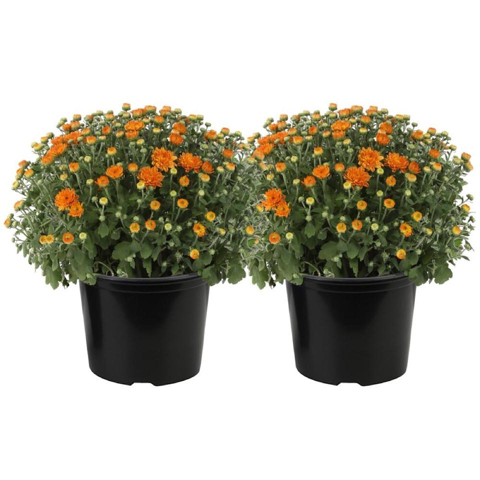 orange flowers in black pots, fall decorating tips