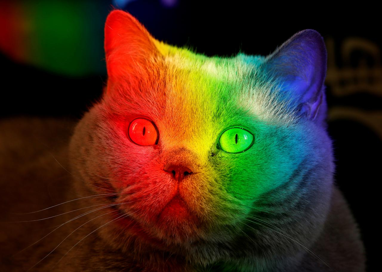 <p>A British Blue cat is lit up by sunlight diffracted through an aquarium at an apartment in the Siberian city of Krasnoyarsk, Russia. (Reuters) </p>