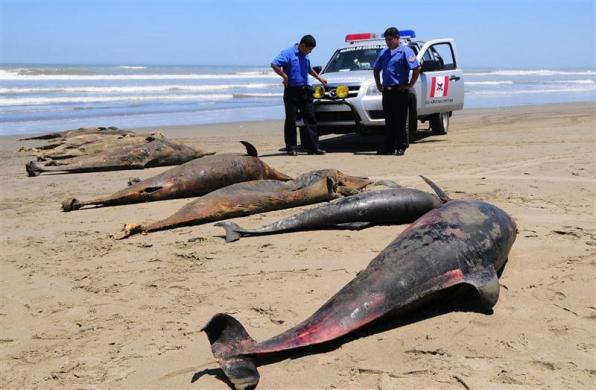 Dolphin carcasses are displayed by conservationists and environmental police officers at San Jose beach, 40 kilometers north of Chiclayo, April 6, 2012.