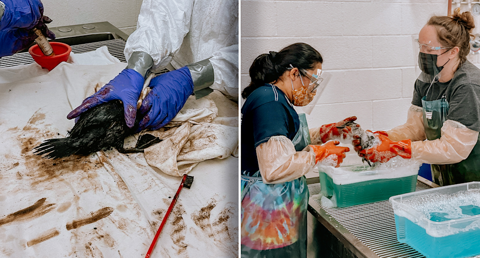 Left - an oiled duck on a white sheet being held in gloved hands. Right - two specialists washing down the oiled duck.