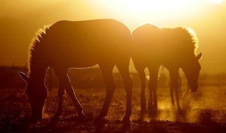 Przewalski's horses graze at the acclimatisation enclosure in the early morning hours at the Takhin Tal National Park, part of the Great Gobi B Strictly Protected Area, in south-west Mongolia, June 23, 2017. REUTERS/David W Cerny/Files