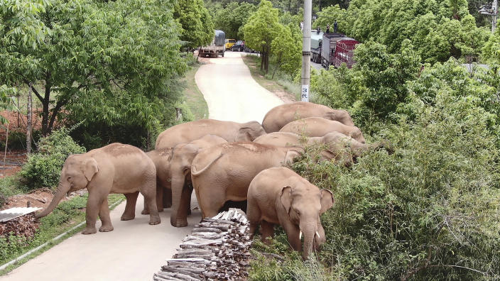 Image: A migrating herd of elephants roam through a neighborhood near the Shuanghe Township, Jinning District of Kunming city in southwestern China's Yunnan Province (Yunnan Forest Fire Brigade / AP)
