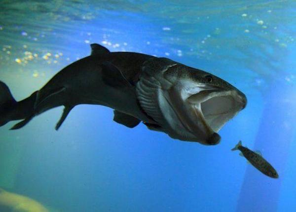 """The giant freshwater fish """"itou,"""" or Japanese huchen, catching its dinner (Photo by Northern Daichi Aquarium)"""