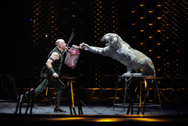 <p>Ringling Bros. tiger trainer Taba Maluenda performs with a white tiger during a show, Thursday, May 4, 2017, in Providence, R.I. Maluenda has been with some of the cats for 13 years, has raised them from cubs. But they're owned by Feld Entertainment, which owns Ringling, and he has to say goodbye. (Photo: Julie Jacobson/AP) </p>