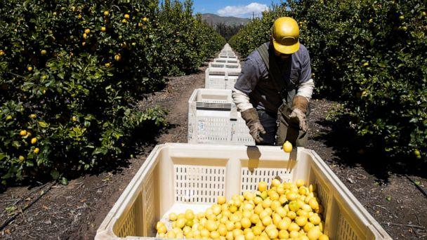PHOTO: In this March 27, 2020, file photo, a worker picks lemons inside the orchards of Samag Services, Inc., in Mesa, Calif. (Brent Stirton/Getty Images, FILE)