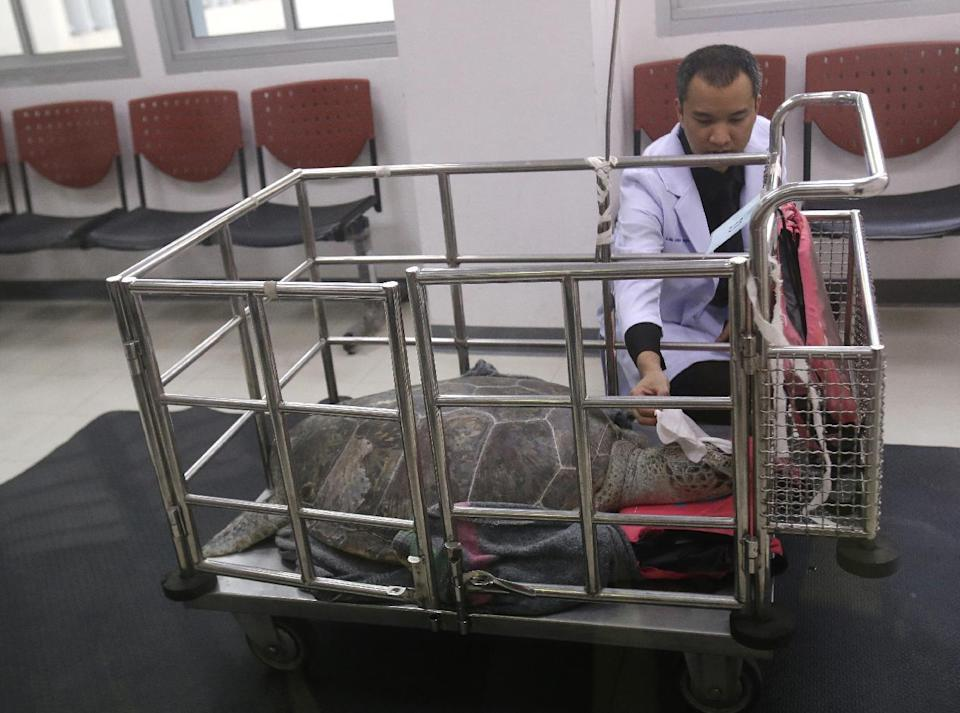 """Veterinarian Passakorn Brikshavana examines he female green green turtle nicknamed """"Bank"""" in a cart after her surgery at Chulalongkorn University's veterinary faculty in Bangkok, Thailand, Monday, March 6, 2017. Veterinarians operated Monday on """"Bank,"""" removing less than 1,000 coins from the endangered animal. Her indigestible diet was a result of many tourists seeking good fortune tossing coins into her pool over many years in the eastern town of Sri Racha. (AP Photo/Sakchai Lalit)"""