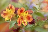 """<p>Typically called Peruvian lilies, they come in bright colors like pink, orange, and purple. Alstroemerias easy to grow and don't require a ton of care. Great for flower bouquets, they last up to two weeks once cut. </p><p><strong>Bloom season</strong>: Summer</p><p><a class=""""link rapid-noclick-resp"""" href=""""https://go.redirectingat.com?id=74968X1596630&url=https%3A%2F%2Fwww.homedepot.com%2Fp%2FFresh-Pink-Alstroemeria-Flowers-80-Stems-320-Blooms-alstroemeria-pink-80%2F204451923&sref=https%3A%2F%2Fwww.redbookmag.com%2Fhome%2Fg35661704%2Fbeautiful-flower-images%2F"""" rel=""""nofollow noopener"""" target=""""_blank"""" data-ylk=""""slk:SHOP ALSTROEMERIAS"""">SHOP ALSTROEMERIAS </a></p>"""