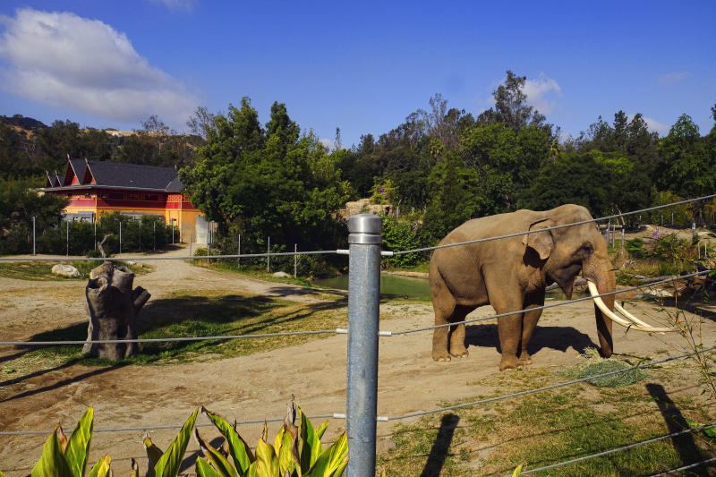 Billy, a male Asian elephant, roams in his habitat at the Elephants of Asia exhibit at the Los Angeles Zoo on Tuesday, April 18, 2017. Councilman Paul Koretz said Tuesday during a news conference he will introduce a plan for moving the elephant at Wednesday's council meeting. Koretz and the group Voice For The Animals claim Billy's habitat is constrained and his habit of bobbing his head is a sign of trouble. (AP Photo/Richard Vogel)