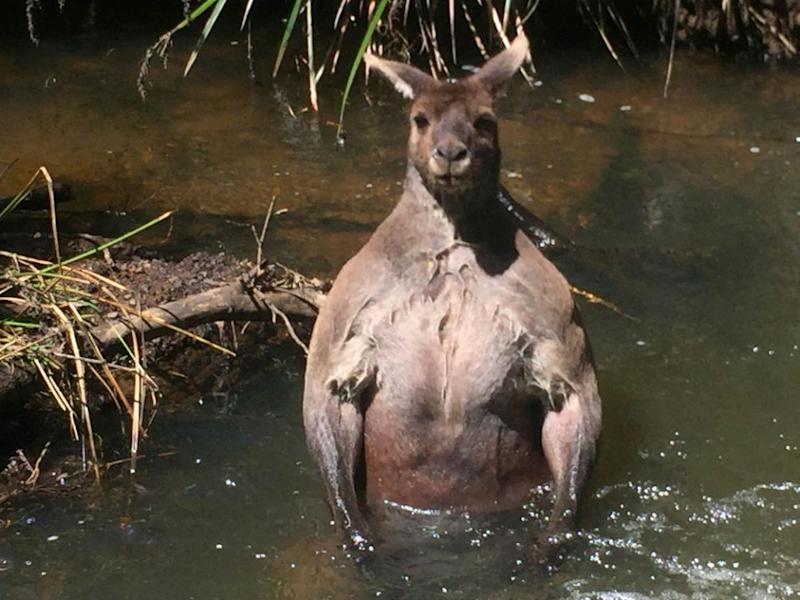 This kangaroo was also photographed for looking 'sexy'. Photo: Caters News