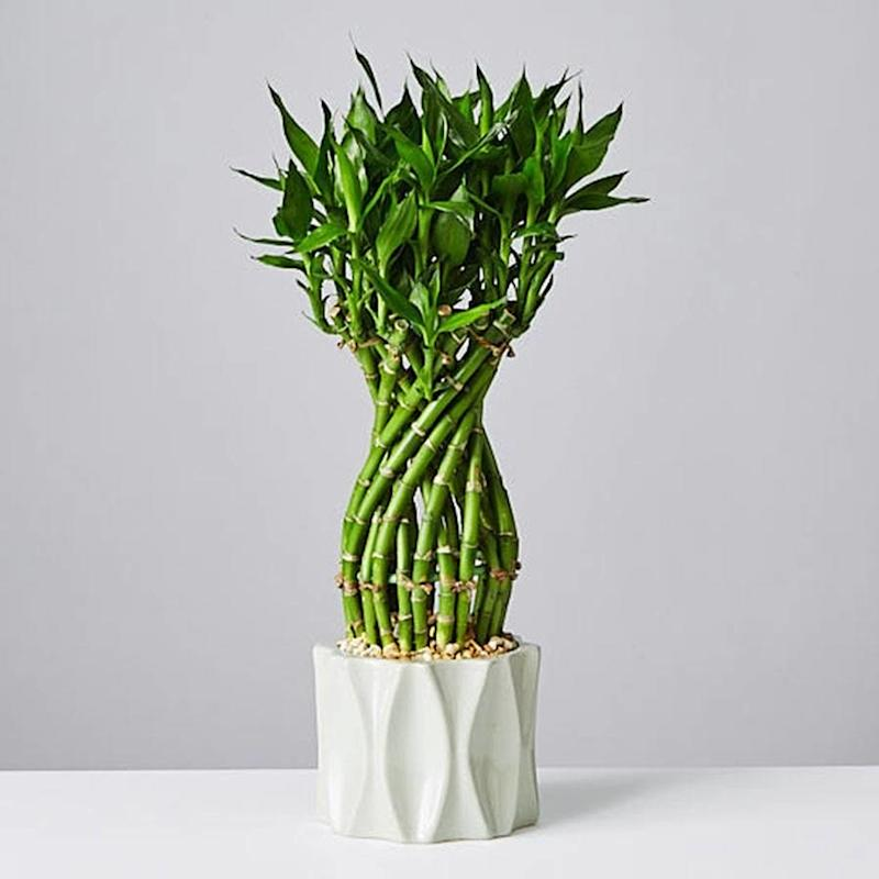 This lucky bamboo plant also serves as a sculptural piece for your home decor.