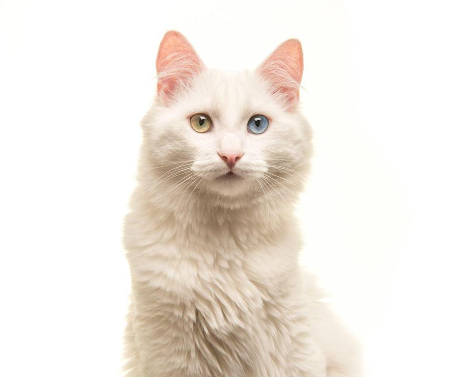 "<p>Turkish Angoras have a <a href=""https://www.petmd.com/cat/breeds/c_ct_turkish_angora"" rel=""nofollow noopener"" target=""_blank"" data-ylk=""slk:tendency to have odd colored eyes"" class=""link rapid-noclick-resp"">tendency to have odd colored eyes</a> — usually one gold and one blue. <strong><br><br>__________________________________________________________</strong></p><p><em>Want more Woman's Day? <a href=""https://subscribe.hearstmags.com/subscribe/womansday/253396?source=wdy_edit_article"" rel=""nofollow noopener"" target=""_blank"" data-ylk=""slk:Subscribe to Woman's Day"" class=""link rapid-noclick-resp"">Subscribe to Woman's Day</a> today and get <strong>73% off your first 12 issues</strong>. And while you're at it, <a href=""https://link.womansday.com/join/3o9/wdy-newsletter"" rel=""nofollow noopener"" target=""_blank"" data-ylk=""slk:sign up for our FREE newsletter"" class=""link rapid-noclick-resp"">sign up for our FREE newsletter</a> for even more of the Woman's Day content you want.</em><br></p>"