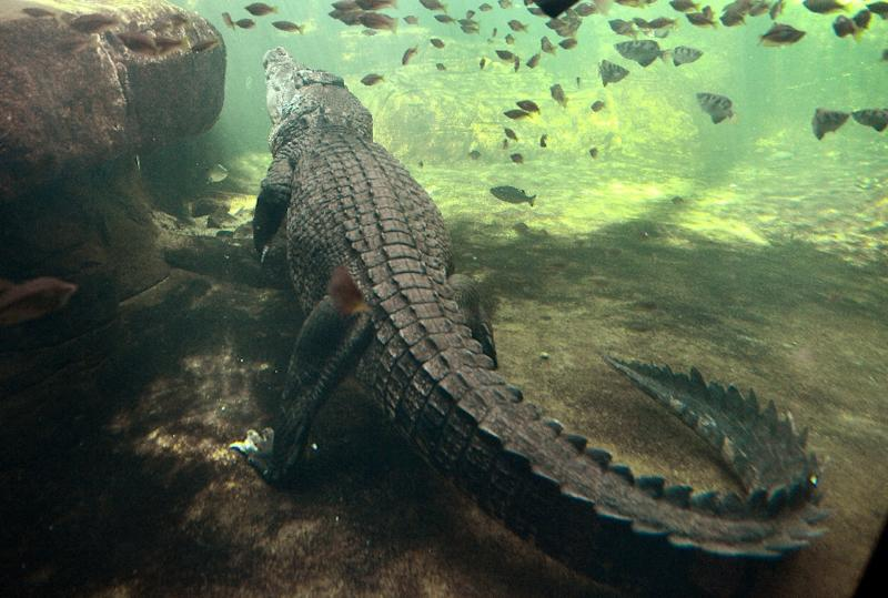 Saltwater crocodiles are estimated to kill an average of two people in Australia each year (AFP Photo/William West)
