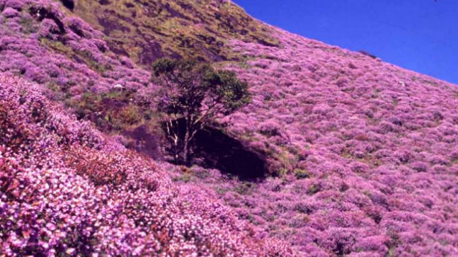 """The flowering of the """"Neelakurinji"""", which happens once every 12 years in the Western Ghats, is one of India's great natural spectacles."""