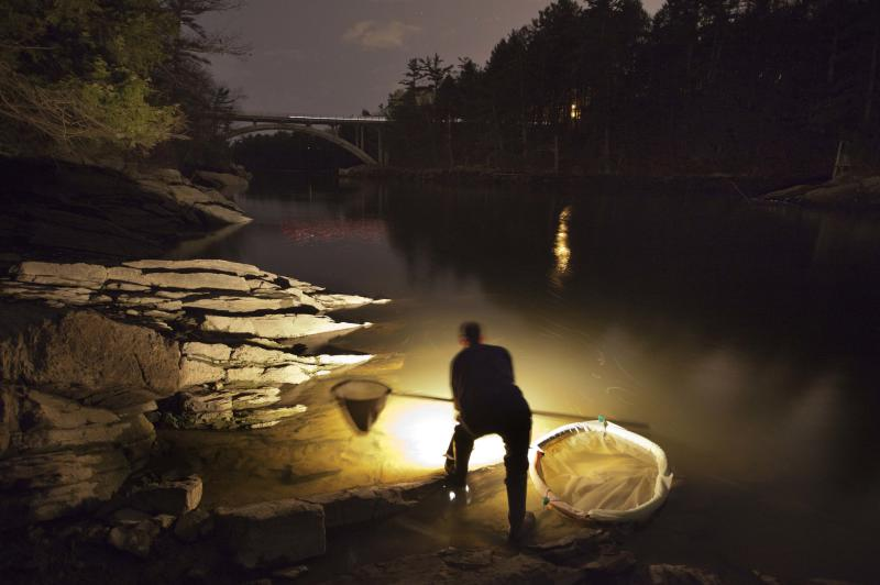 In this photo made Thursday, March 23, 2012, Bruce Steeves uses a lantern while dip netting fort elvers on a river in southern Maine. Elvers are young, translucent eels that are born in the Sargasso Sea and swim to freshwater lakes and ponds where they grow to adults before returning to the sea. (AP Photo/Robert F. Bukaty)
