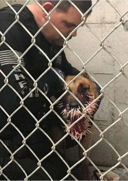 PHOTO: A sheriff dog was punctured by over 200 porcupine quills during a pursuit, Coos County, Ore., April, 20, 2019. (Coos County Sheriff's Office)