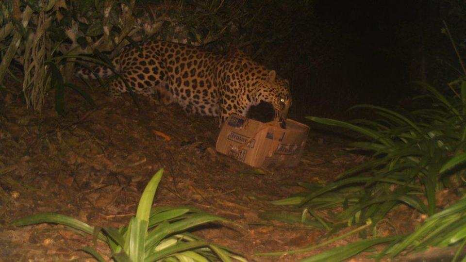 The leopard cub being taken away by the mother