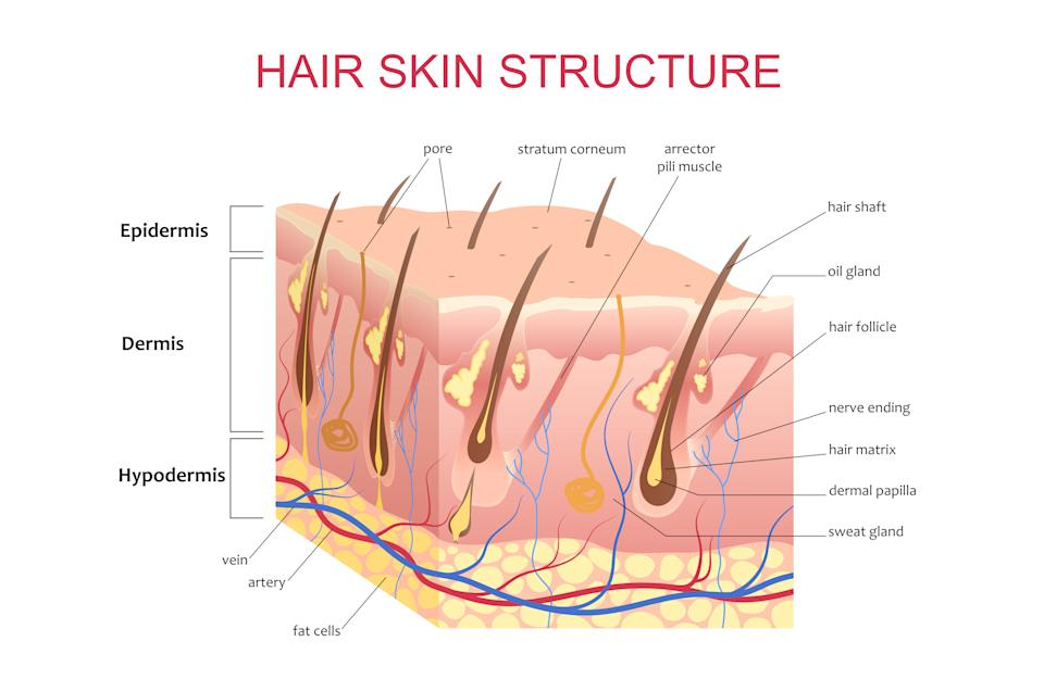 3D structure of the hair skin scalp, anatomical education infographic information poster vector illustration