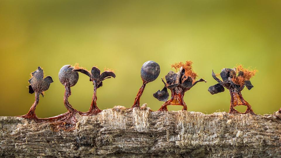© Barry Webb Slime Moulds on Parade CUPOTY