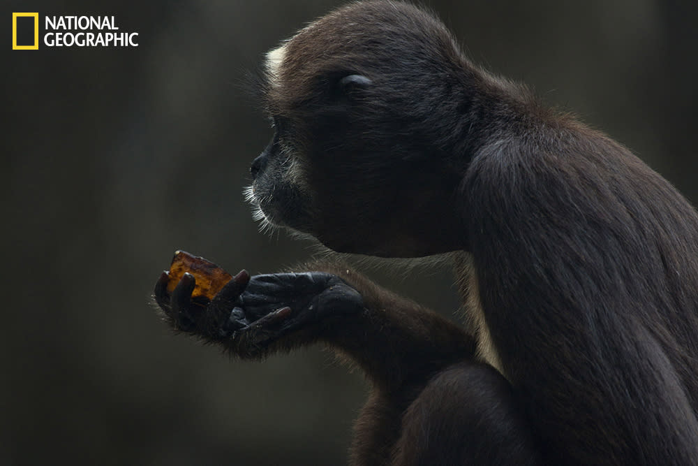 This critically endangered species of spider monkey was photographed at the Barranquilla Zoo in Colombia. The brown spider monkey is now among the world's 25 most endangered primates. Photograph courtesy Carolina Holguin/National Geographic Your Shot.