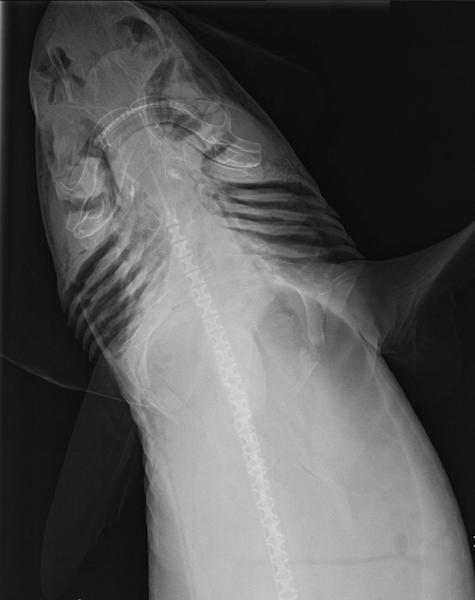 An X-ray image of a mandarin dogfish shark found in Australian waters, far from what was thought to be its only habitat around Indonesia.