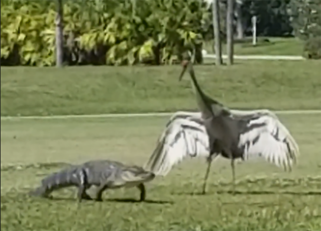 A crane escorted a baby alligator across a golf course fairway in an effort to protect his family. (Facebook/Eric Drexler)